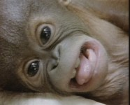 birth of baby orang-utan
