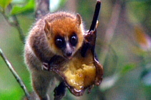 cutest rarest primate