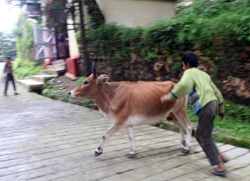 Mussoorie: cow on the path