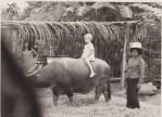 Deirdré on water buffalo at TIMland, 1968