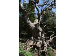 Platano Millenario:  il Gigante Buono, che vive da più di mille anni qui, fino a sviluppare un tronco di 16 metri di circonferenza, e una cavità enorme in grado di ospitare diverse persone al suo interno.
