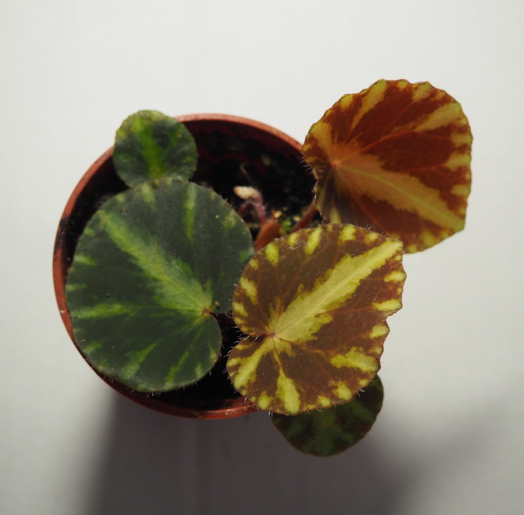Begonia cleopatrae top view on white background
