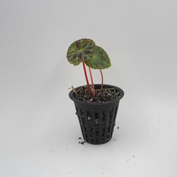 Begonia henryii product image