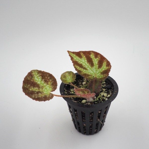 Begonia ningmingensis var. vietnam product image
