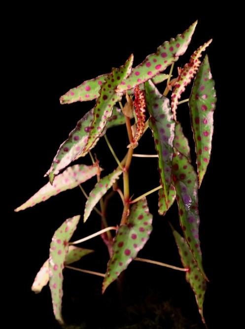 Begonia amphioxus on black background