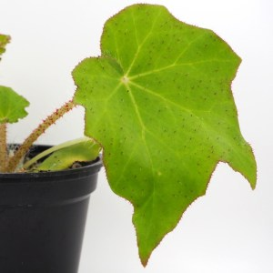Begonia ricinifolia leaf close up
