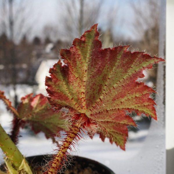 Begonia ricinifolia in window