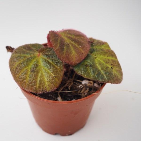 Begonia manaus product image
