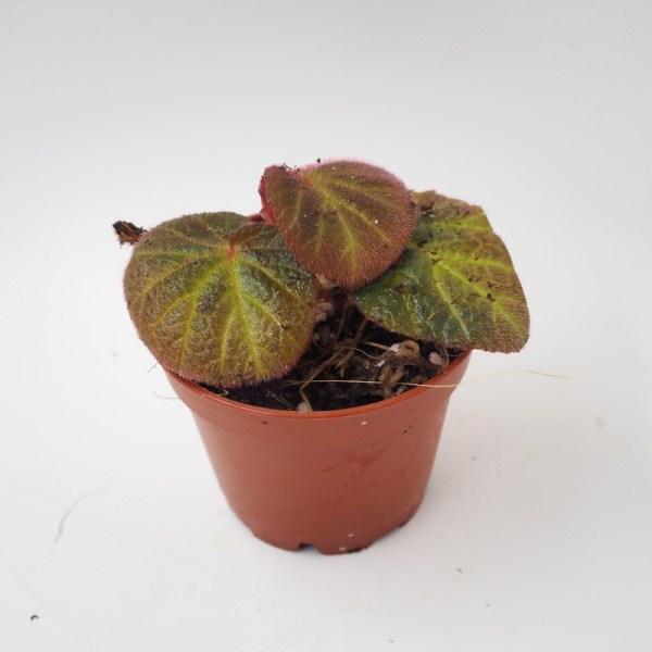 Begonia manaus