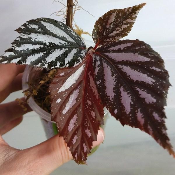 Begonia maynensis red
