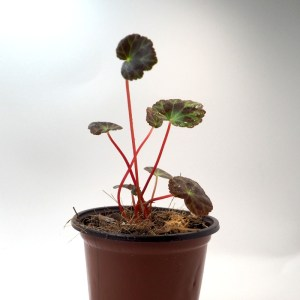 Begonia henryii 4''