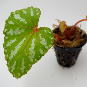 Begonia sp konmei