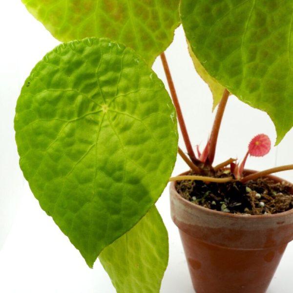 Begonia natunaensis plant