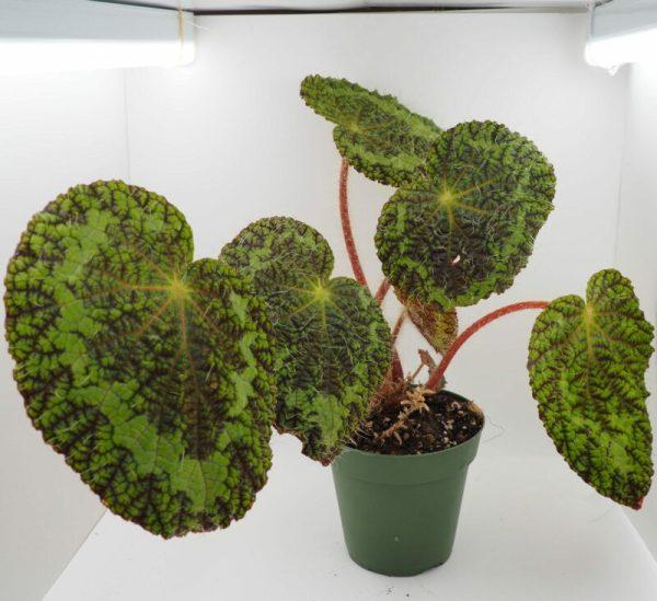 Begonia sizemorea red