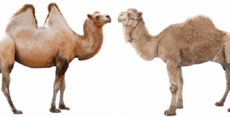 10 Interesting Facts About Camel 4 Behind History