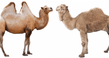 10 Interesting Facts About Camel 6 Behind History