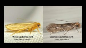 Moth issue on rugs: casemaking moth & webbing moth