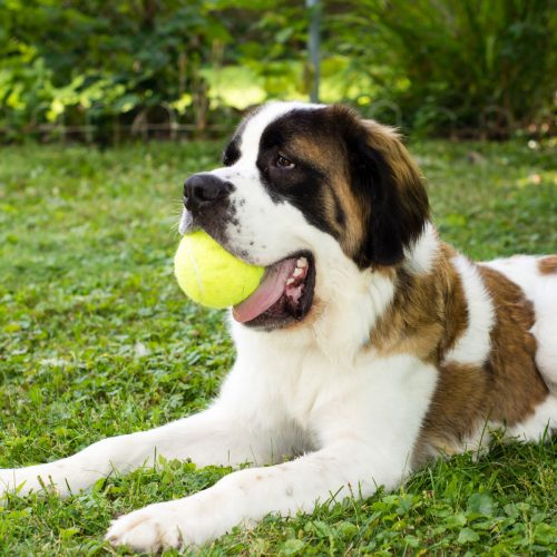 A large saint bernad dog lays in a yard aplays with a tennis ball