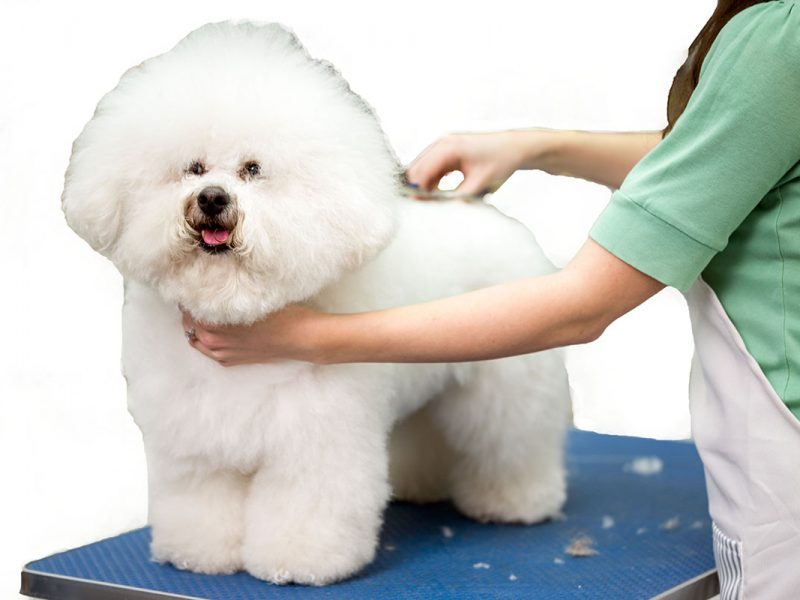 Bichon Fries grooming with scissors
