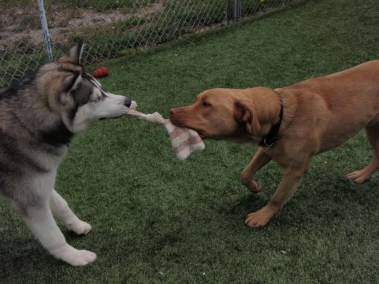 Dogs playing tag of war