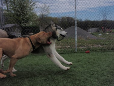 Dogs making new friends at our Oakville dog kennel