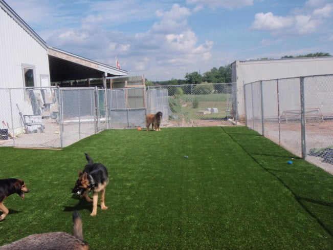 Dogs running on clean turf