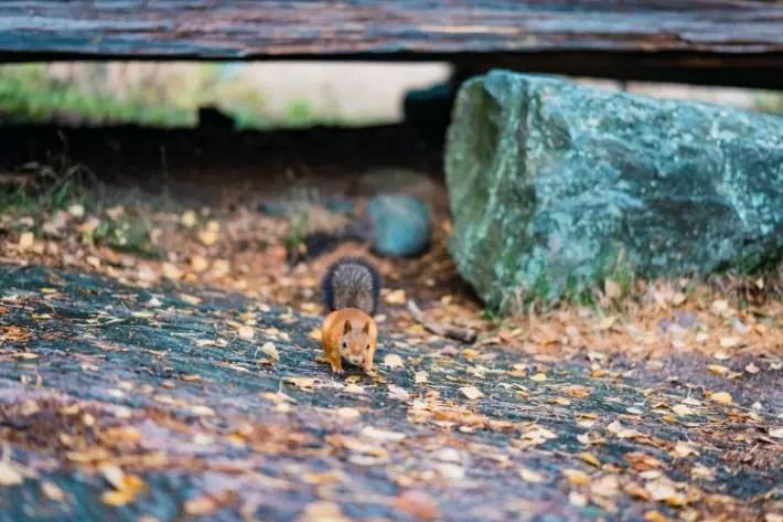 squirrel, Seurasaari Open-Air Museum, Helsinki