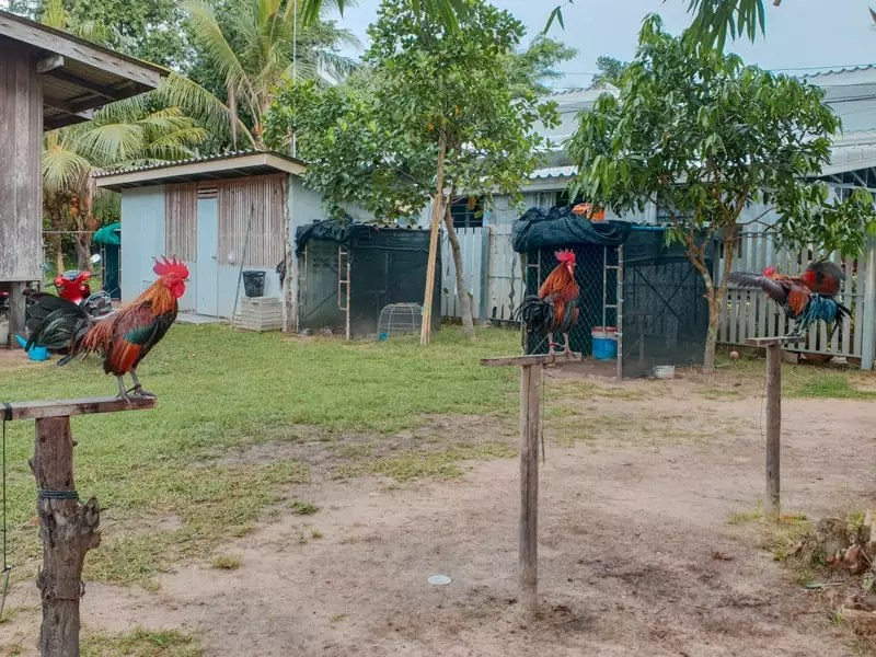 koh klang thailand krabi farm countryside rooster chicken