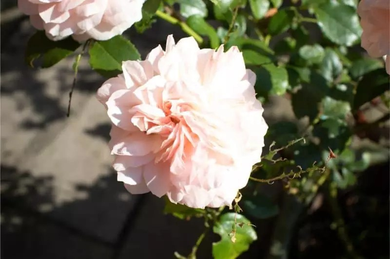 overexposed Rose, how to create HDR pictures