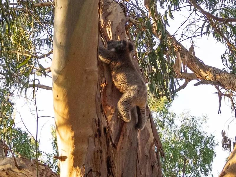 koala-Things-to-do-in-Kangaroo-Island-Australia