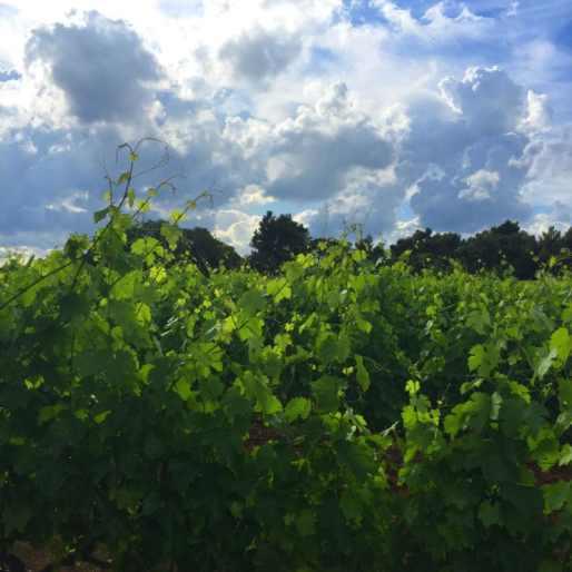 vineyardsinfrance