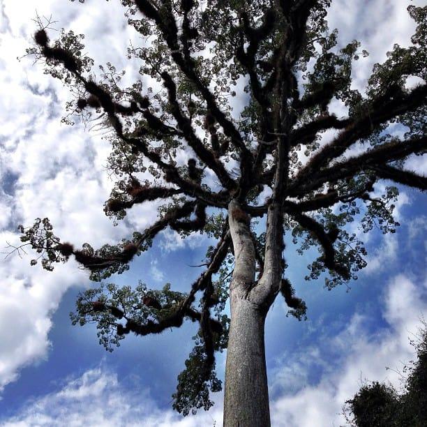 ceiba tree in Tikal Guatemala