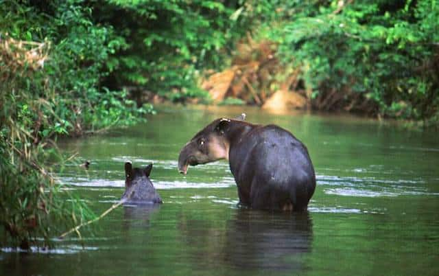 tapir in belize