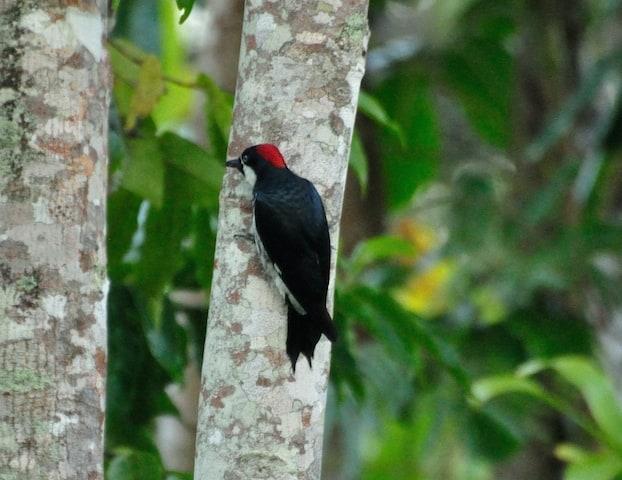 Acorn Woodpecker in Belize