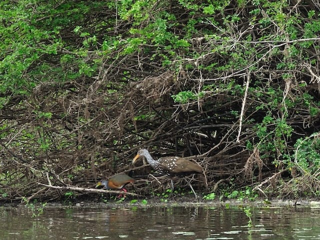 Gray-necked Wood-Rail and Limpkin