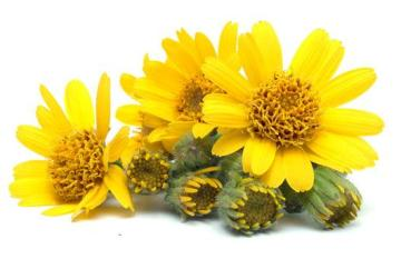 The benefits of Arnica Oil - By Bellabaci Cellulite Cupping Massage
