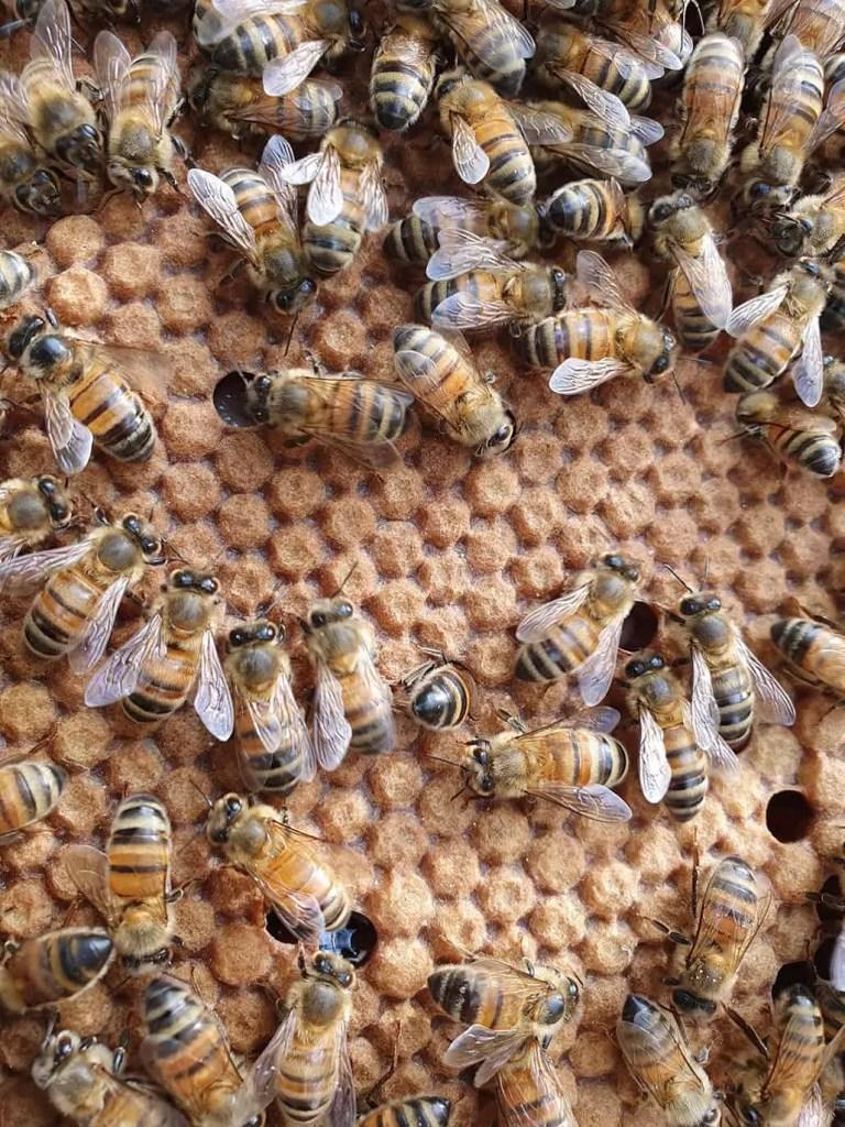 Bella Bees Natural Honey - Bee Hive Brood