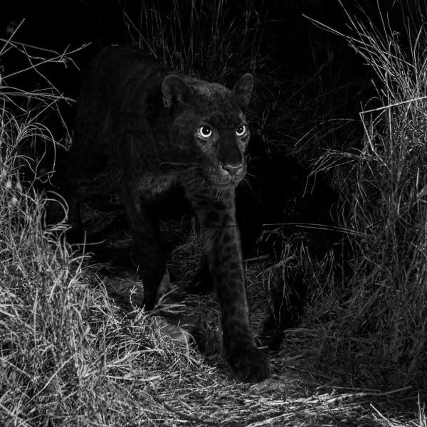 "Rare Leopard - ""Black Panther"" - spotted in Kenya | BellaNaija"