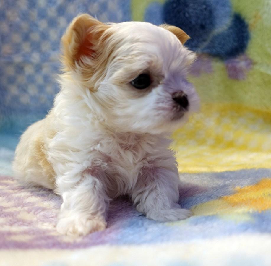 Mi-Ki Puppies For Sale