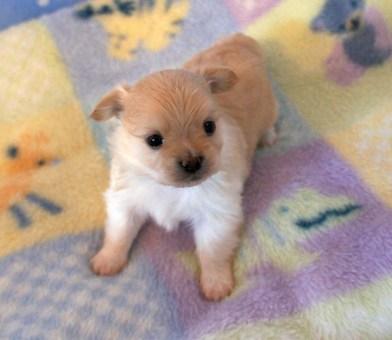 Cream Smooth Face Puppy
