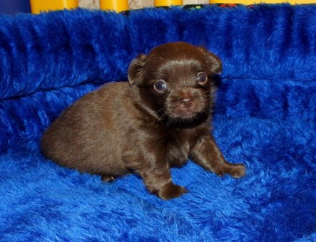 Chocolate Smooth Face Puppy