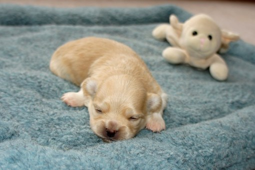 Cream puppy at two weeks