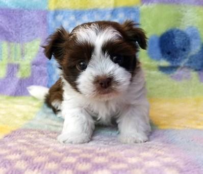 Buddy chocolate & white at 5 weeks