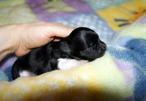 Newborn black & white Mi-Ki puppy