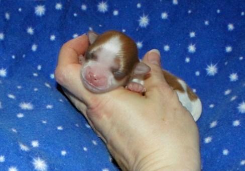Newborn parti color Mi-Ki puppy