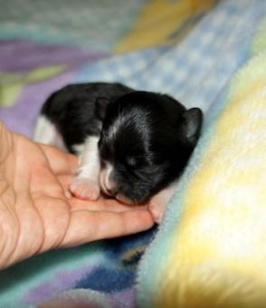 Tux - black & white, smooth face newborn