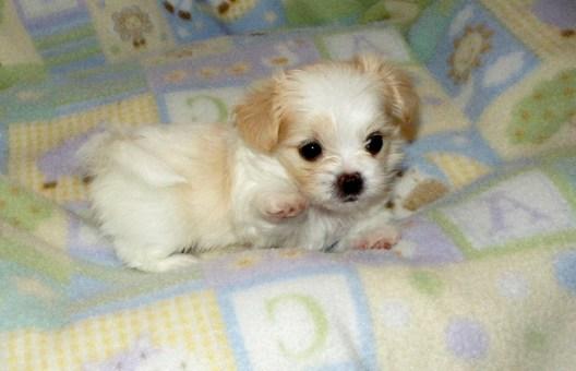 White & apricot Mi-Ki puppy
