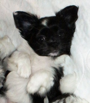 Hope is a black and white, smooth face puppy