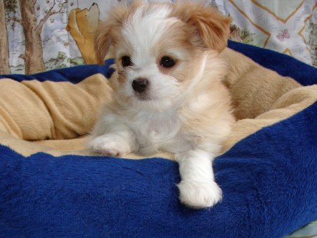 Oliver, a white & apricot puppy, at  6 weeks