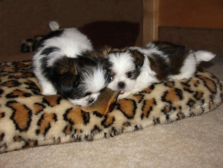 Puppies sharing a chewy